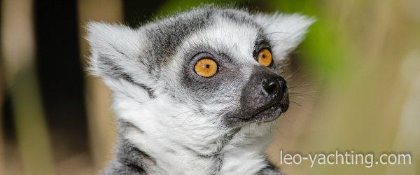 Podczas czarteru na Madagaskarze spotkasz lemury