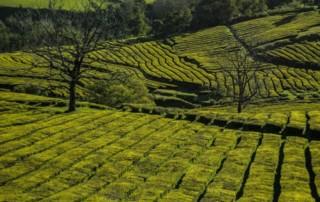 czarter jachtów Azory - plantacja herbaty