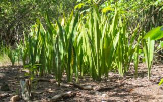 Czarter na Karibach - sansiwiera