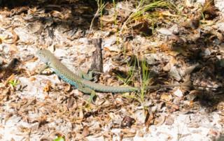 Czarter na Karaibach - jaszczurka