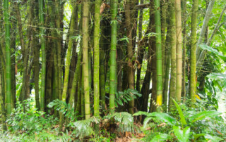 Czarter na Karaibach - zagajnik babusowy na St. Vincent